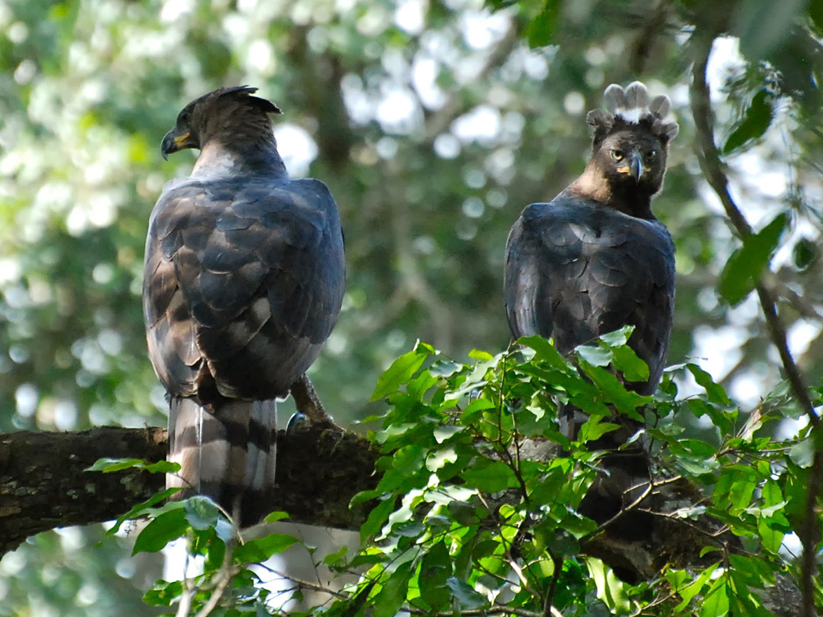 African crowned eagle hunting